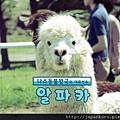 2012.7 Nasu Animal Kingdom Alpaca.jpg