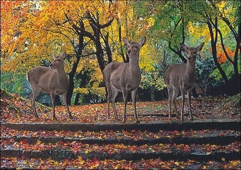 奈良公園鹿群.jpg