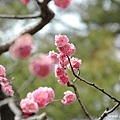 日本三大名園 兼六園 寒斐櫻