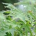 湯布院溫泉 金麟湖畔 雨後春楓