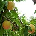 石和採水果