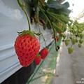 D3-7 採草莓 (5).jpg