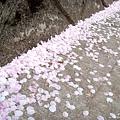 赤城千本櫻 (2).jpg