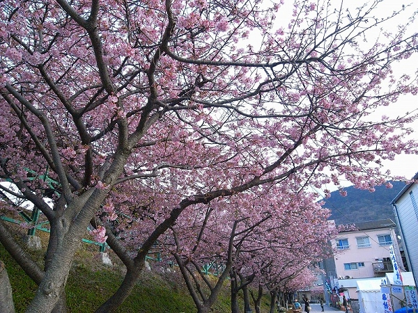 nEO_IMG_www.kawazuzakura.net__1266619508.jpg
