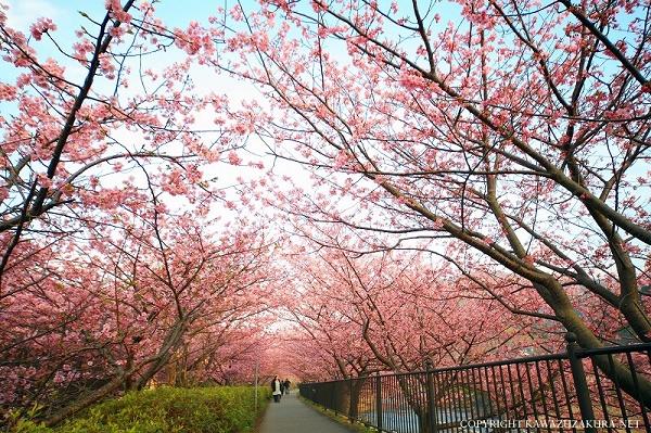 nEO_IMG_www.kawazuzakura.net__1266620122.jpg