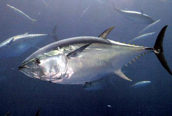 黑鮪魚在海洋中.jpg
