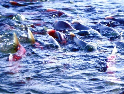 紅鮭魚3.jpg