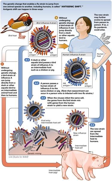 swine flu small.JPG
