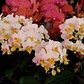 蘭花系列~小白花1.JPG