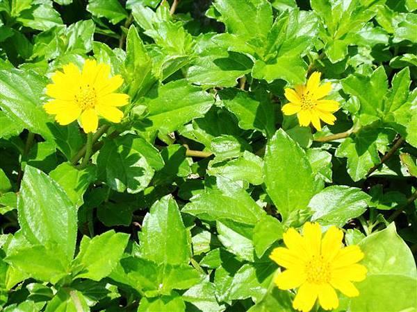 園藝造景~蟛蜞菊2.JPG