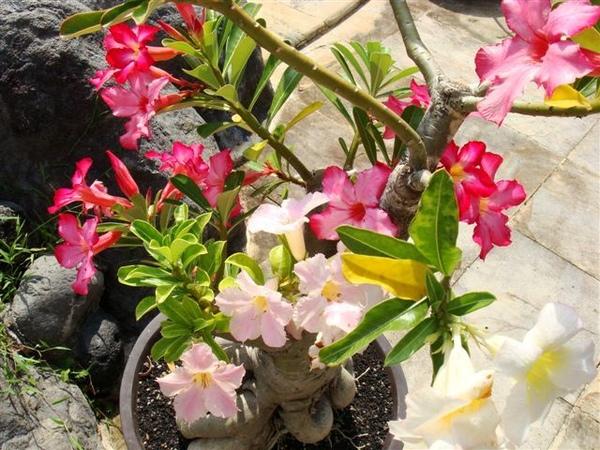 沙漠玫瑰1.JPG