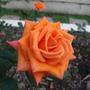 橘玫瑰.JPG