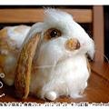 羊毛氈兔子_兔兔小朋友_06_felt rabbit