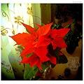 Jarlin的聖誕紅2012-3