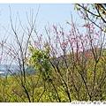 06_櫻花-茶園