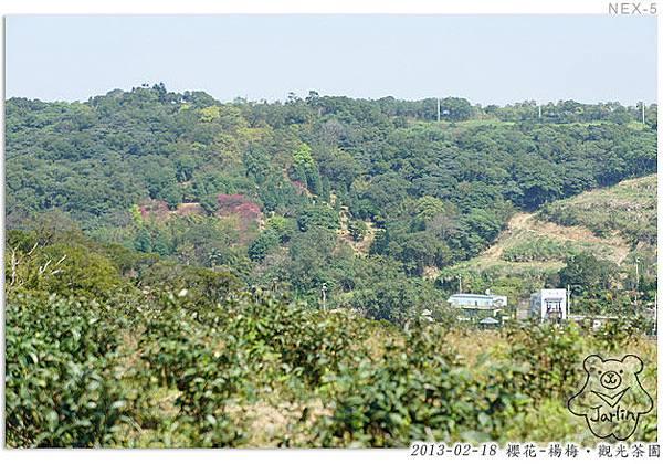 07_櫻花-茶園
