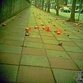 三月木棉花 (10)