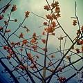 三月木棉花 (11)