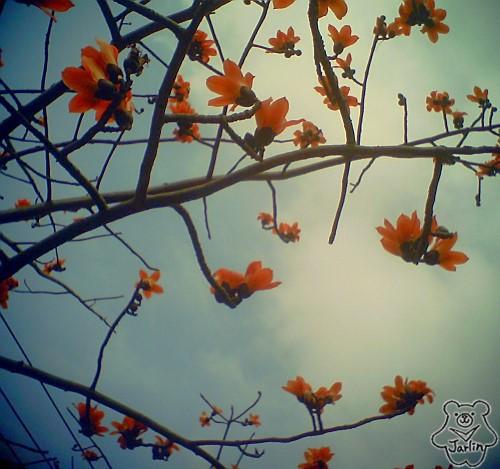 三月木棉花 (12)