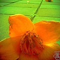 三月木棉花 (13)