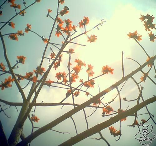 三月木棉花 (16)