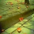 三月木棉花 (15)