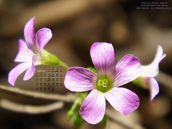 2001年五月‧酢漿草小花
