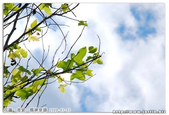 楓林步道上很少看到楓樹