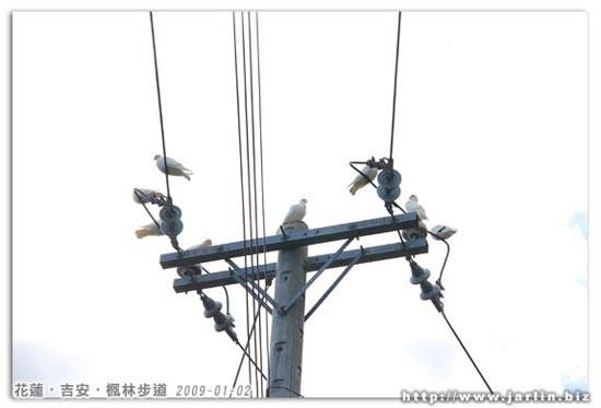 電線桿上停了一群白鴿