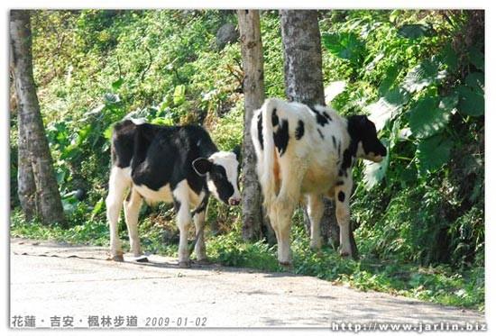 兩隻小牛都好瘦!