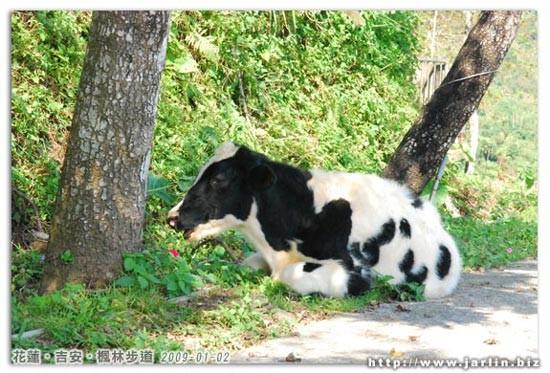 另一隻較大的牛