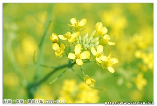 四個花瓣的油菜花,像蝴蝶