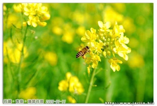 許多蜜蜂跟蝴蝶忙著採花蜜