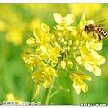 勤奮工作的蜜蜂一點也不想理我們