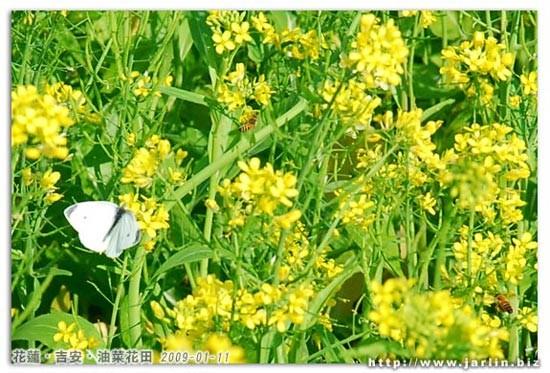 田裡有很多這種蝴蝶