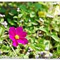 前往另一畝花田的路上,看到零星長出的波斯菊