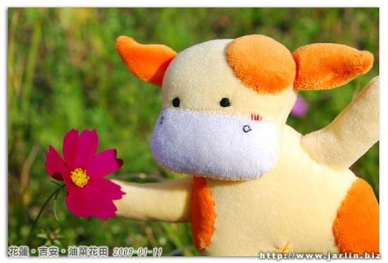 小芒果:這裡是深紅色的波斯菊!_19
