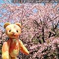 櫻花熊與櫻花