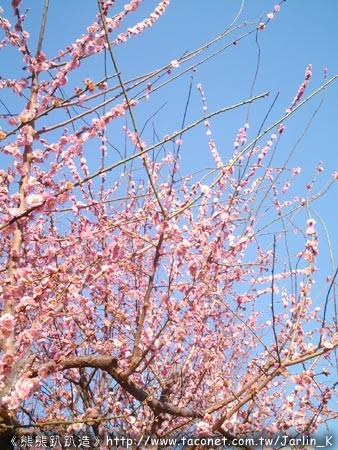 粉紅色櫻花