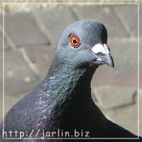 橫濱的鴿子