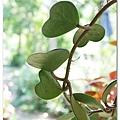 心型葉子的植物