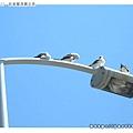路燈上可愛的海鷗