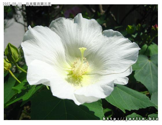 街上住戶種植的花,不知道是不是扶桑花的一種?