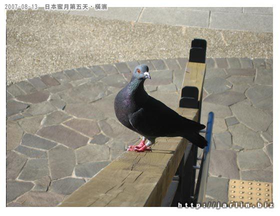 離開港見丘公園時看到鴿子