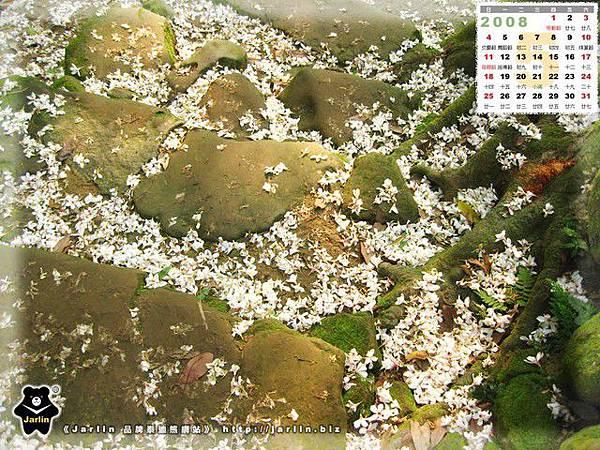 5月_2008油桐花
