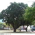 孔廟的大樹