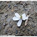 今天看到的第一朵桐花