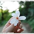 拾起孤單的桐花一朵