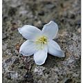 黃色花心的桐花,是因為還不夠成熟嗎?