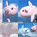 20081028_曼波魚_粉紅